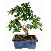 Bonsai intelept